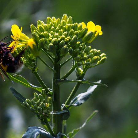 bumblebee-trunk