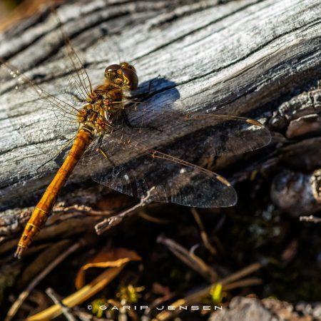 dragonfly-back