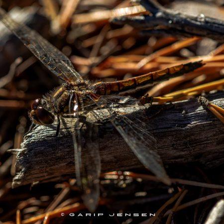 dragonfly-on-a-stick