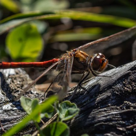 dragonfly-on-stick-close-up