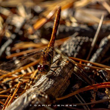 dragonfly-posing