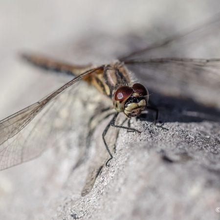 facing-dragonfly