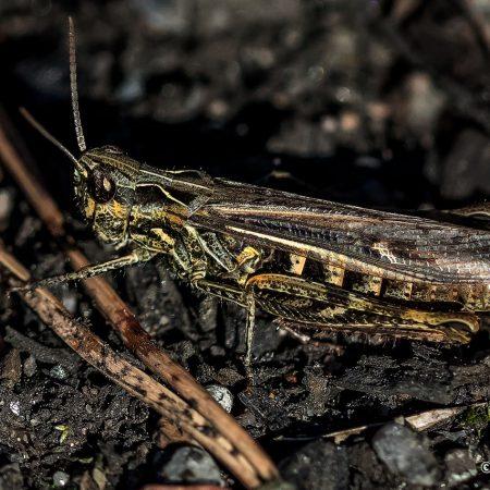 grasshopper-looking-mean