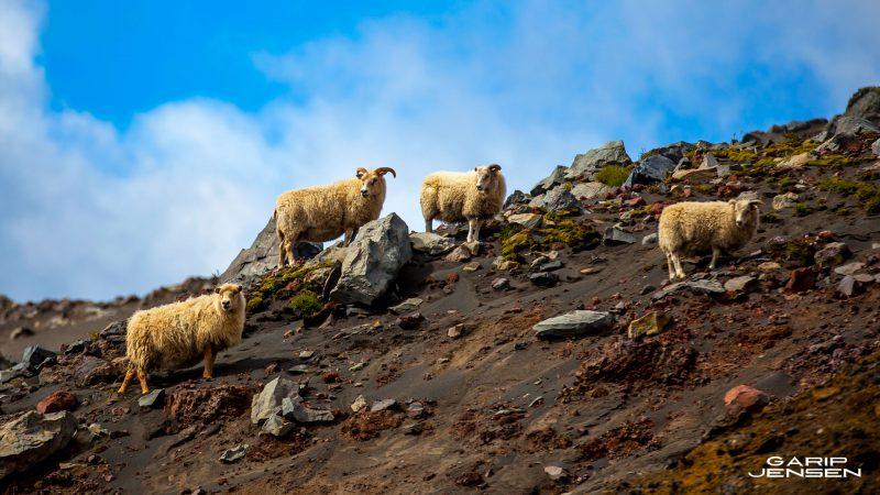 Iceland-sheap-close-to-skogar